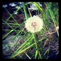 Puff. Flower.