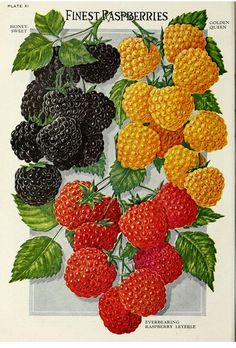 From the Swallowtail Garden Seeds collection of botanical photographs and illustrations. We hope you will enjoy these images as much as we do. Vintage Paper, Vintage Art, Growing Raspberries, Raised Bed Garden Design, Vintage Seed Packets, Garden Labels, Seed Packaging, Seed Catalogs, Guache