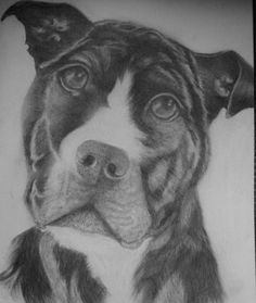 pitbull portrait in graphite, 16x12 by 1bluwall on Etsy