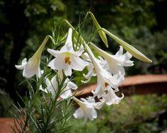 Formosa lilies