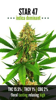 Star 47 | Repined By 5280mosli.com | Organic Cannabis College | Top Shelf Marijuana | High Quality Shatter