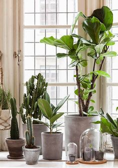 go green with house plants. Potted plants near a window including a fiddle leaf fig, ficus lyrata. Green Plants, Potted Plants, Pots For Plants, Ficus Lyrata, Plantas Indoor, Cactus Plante, Diy Plant Stand, Plant Stands, Decoration Plante