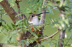 Mexican Sheartail -Female nesting