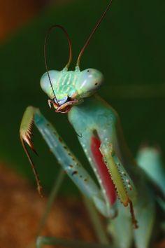 La Mantis Jade – Hierodula salomonis