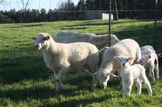 42 Best (My sheep) katahdin or Dorper hair sheep images in 2016