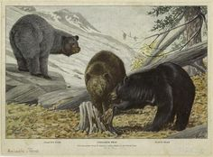 Left to right: glacier bear, cinnamon bear, black bear. 1916 illustration by Louis Agassiz Fuertes (1874-1927), featured in National Geographic. (New York Public Library)