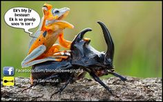 The frog riding on top of the beetle; Frog rides a beetle like a rodeo cowboy on a bull, Sambas, Ind. - Hendy MP/Solent News/REX Animals And Pets, Funny Animals, Cute Animals, Lazy Animals, Wild Animals, Unusual Animals, Animals Planet, Animals Photos, Nature Animals