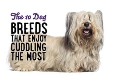 The 10 Breeds That Enjoy Cuddling The Most!