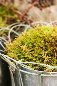 moss in zinc buckets. fine decoration outside, now the summer flowers are gone.