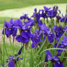 Deep purple self and a yellow and white blaze with black veining. Performs admirably in moist, acidic soil. Planting Shrubs, Garden Plants, Enchanted Garden, Purple Flowers, Houseplants, Perennials, Iris, Beautiful Flowers, Apple Tree