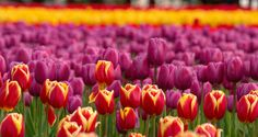 Colorful tulips by Anand Vengadassalam - Photo 68284371 - 500px