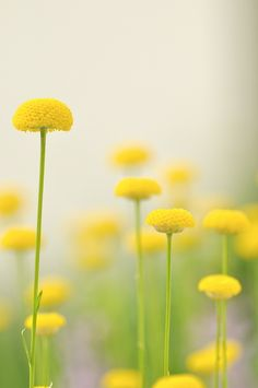 Button Flowers - Plants and foliage outdoors. Trees, plants, glowers and gardening. Button Flowers, Wild Flowers, Beautiful Flowers, Exotic Flowers, Spring Flowers, Macro Fotografie, Deco Floral, Shades Of Yellow, Colour Yellow