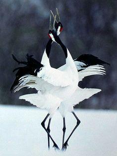 Exotic Pets 321022279674532454 - Grue japonaise Source by lydievanackere Pretty Birds, Beautiful Birds, Animals Beautiful, Nature Animals, Animals And Pets, Cute Animals, Japan Tattoo, Japanese Crane, Japanese Art