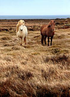 Icelandic Horses along de coast of de Snæfellsnes peninsula, Snæfellsnesog Hnappadalssysla_ Iceland