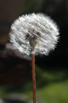 I revert to childhood when holding one of these: make a wish.