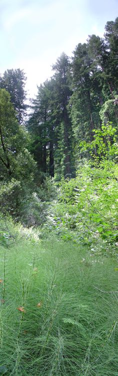 redwood forest pano