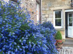 Ceonothus in the back yard Planting, Gardening, California Garden, Garden Borders, Blue Flowers, Garden Ideas, Cottage, Backyard, Grey
