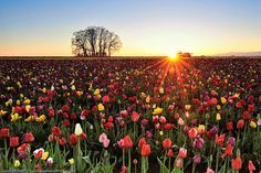 Tulip fields at sunset-FAVORITE FLOWER!