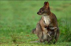 Kangur z maleństwem