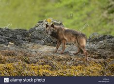 Download this stock image: Vancouver Island wolf photographed on Vargas Island, west coast Vancouver Island, BC Canada - KCFW42 from Alamy's library of millions of high resolution stock photos, illustrations and vectors.