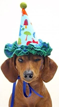 Gorgeous party #dachshund!