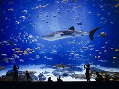 The Georgia Aquarium, located in Atlanta, Georgia, is the world's largest aquarium with more than 8.5 million gallons of water housing more than 120,000 animals of 500 different species.