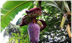 Banana flower health benefits