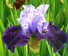Northwest-Progress Iris