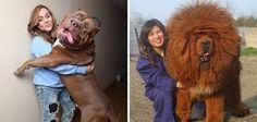 cachorros-muito-grandes