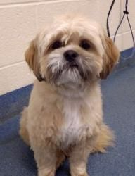 Rufus (A3) is an adoptable Shih Tzu Dog in Lindon, UT.  ...