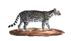 Le #chat du Brésil se distingue par ses oreilles larges et arrondies. Son pelage est d'un gris clair aux parties supérieures, et d'un blanc pur aux parties inférieures; des taches nombreuses et de diverses formes y sont répandues. Il aurait été introduit en France depuis Cuba. C'est un #animal doux et caressant selon les bons traitements dispensés par son maître #félin #bestiaire #numelyo Lyon, Cuba, Panther, Gray, Ears, Natural History, Stains, Panthers, Black Panther