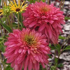 Echinacea 'Pink Poodle'®