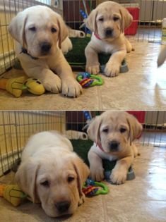 Awww!!! These are the cutest lab puppies ever #LabradorRetriever