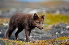 Arctic fox (Vulpes lagopus)   Arctic Fox (Vulpes lagopus fuliginosus)   Flickr - Photo Sharing!