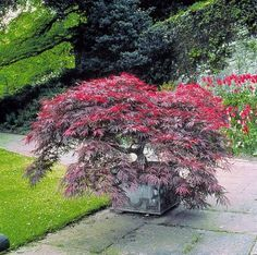 Arbuste compact et très élégant au superbe feuillage pourpre finement découpé. Croissance lente idéale pour les petits jardins. Utilisation : en pot, en rocaille, en massif.