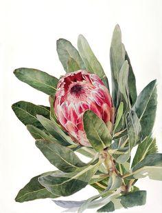 https://www.behance.net/gallery/17684023/Protea-in-Watercolour