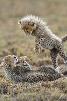 Volunteer with Via Volunteers in South Africa and see our gorgeous babies! Cheetah Cubs