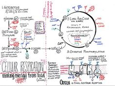 Cellular Respiration Diagram Worksheet 100,101 Cellular