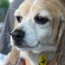 ADOPTED! Billy is one of the10 rescued from a laboratory in San Diego, CA. He's about 22 pounds (a small little guy).