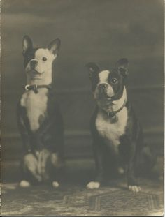 """c.1910-1920 large photograph (7"""" wide x 9"""" high) of two great-looking Boston terriers, One has locked leather collar, the other dog is sitting up, begging. Photo taken by Moreland Studio, 848 Milwaukie St., Portland, Ore. From bendale collection"""