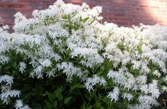 Autumn flowering Clematis (Clematis paniculata) in my garden on 9-9-12.  Beautiful and fragrant, too.  photo by Joy Rosner.