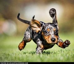 Wait for me! Adorable dapple dachshund!