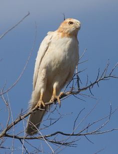 Albino Red-tailed Hawk