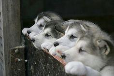 husky pups:)