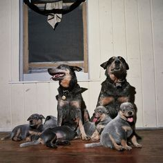 family of australian cattle dogs (blue heelers)