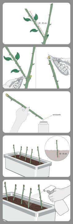 Cómo propagar rosales por esquejes.