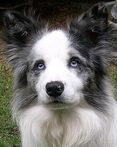Just fell in love with this cutie pie's face. Gorgeous Blue Merle Border Collie.