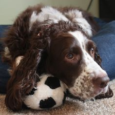 All Springers must like to do this. My Zoey always has her head on something!