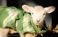 Like Sheep Dreams , but hey, it's lambs ; And if you aren't already addicted to Dianne's Lamb Cam , grab a cup of coffee and go check i. What Is Cute, Farm Fashion, Baa Baa Black Sheep, Barnyard Animals, Sheep And Lamb, Farm Yard, Love Pet, Lambs, Animals Beautiful