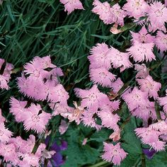 Dianthus 'Bath's Pink' (Cheddar pink) - Fine Gardening Plant Guide/ATTRACTS: Butterflies.